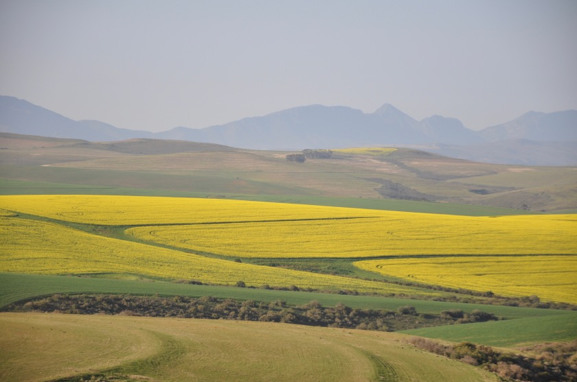 Africa fields of gold