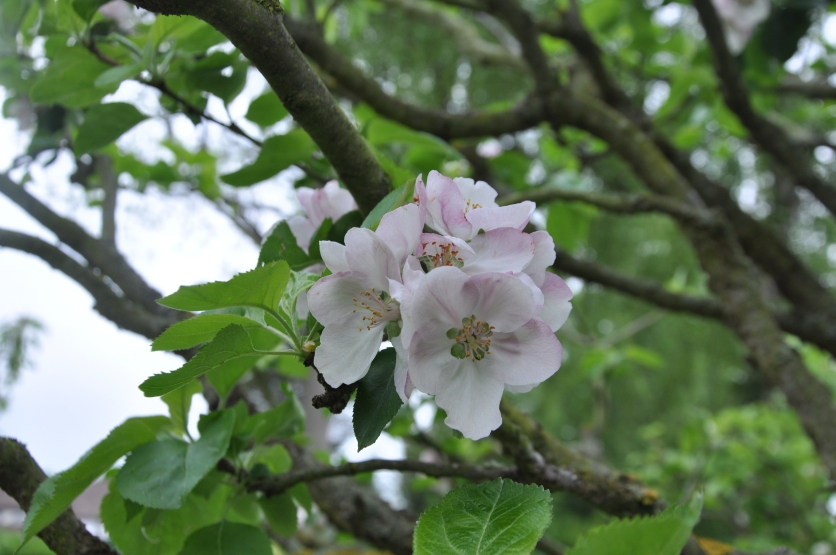 Apple blossom, green tree