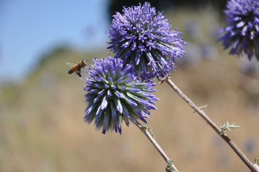 Bee with nectar on purple round flowers