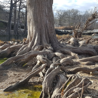 McKinney Falls tree roots, horizontal