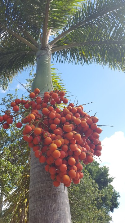 Palm fruit in spring