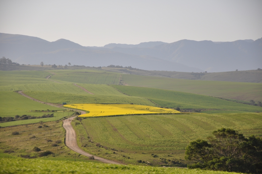 S Africa, fields with mountains, one gold