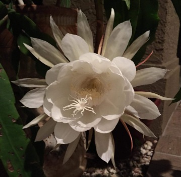 Night-blooming cereus, Cindy Beeler