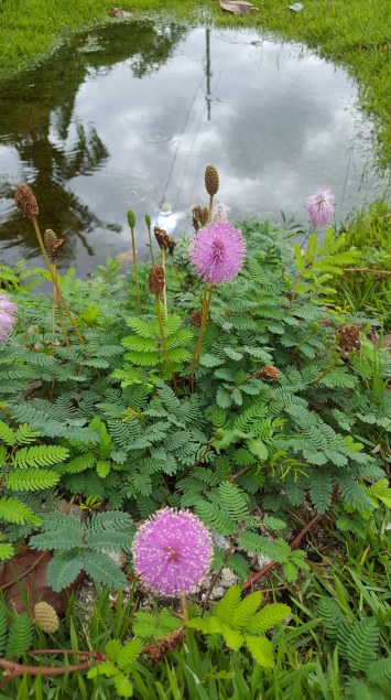 Pink ball flowers in ferns w sky reflected