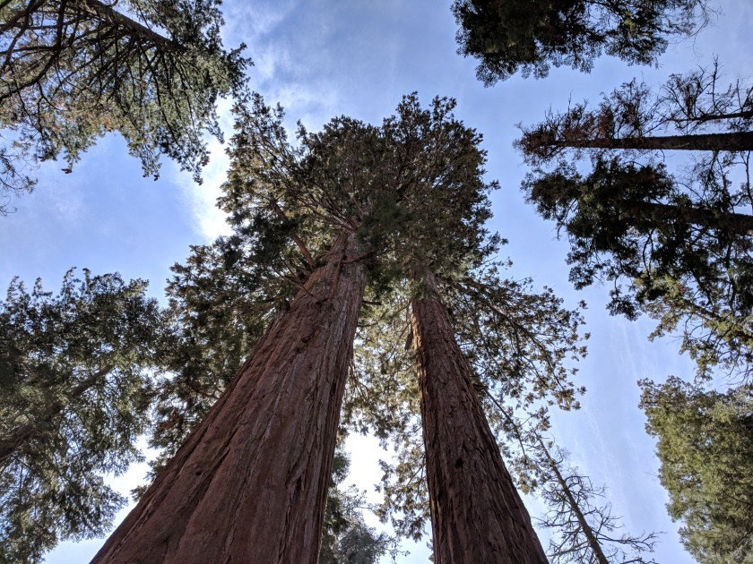 Sequoias, looking skyward