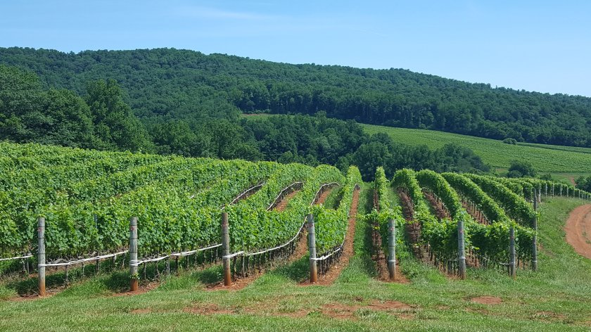 Albemarle Estate vineyard, Charlottesville
