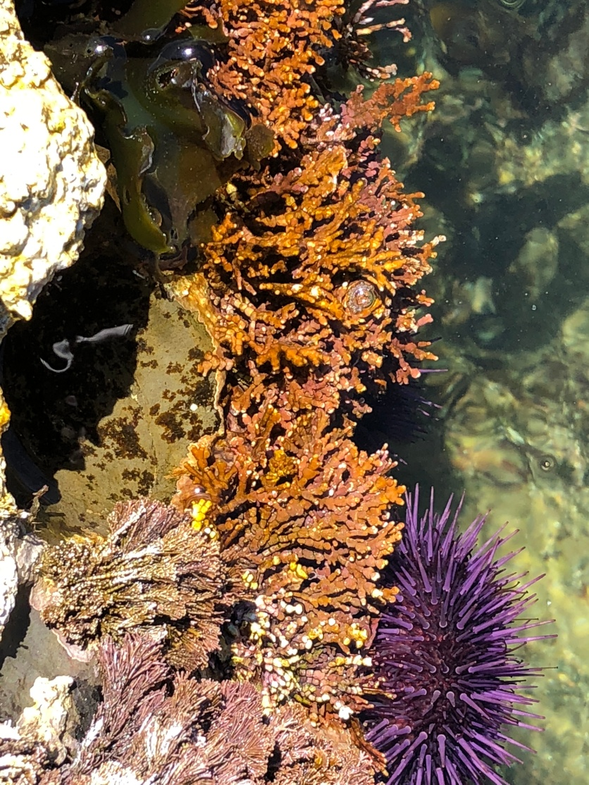 Underwater glory 1, w purple anenome, Pacific coast, CA