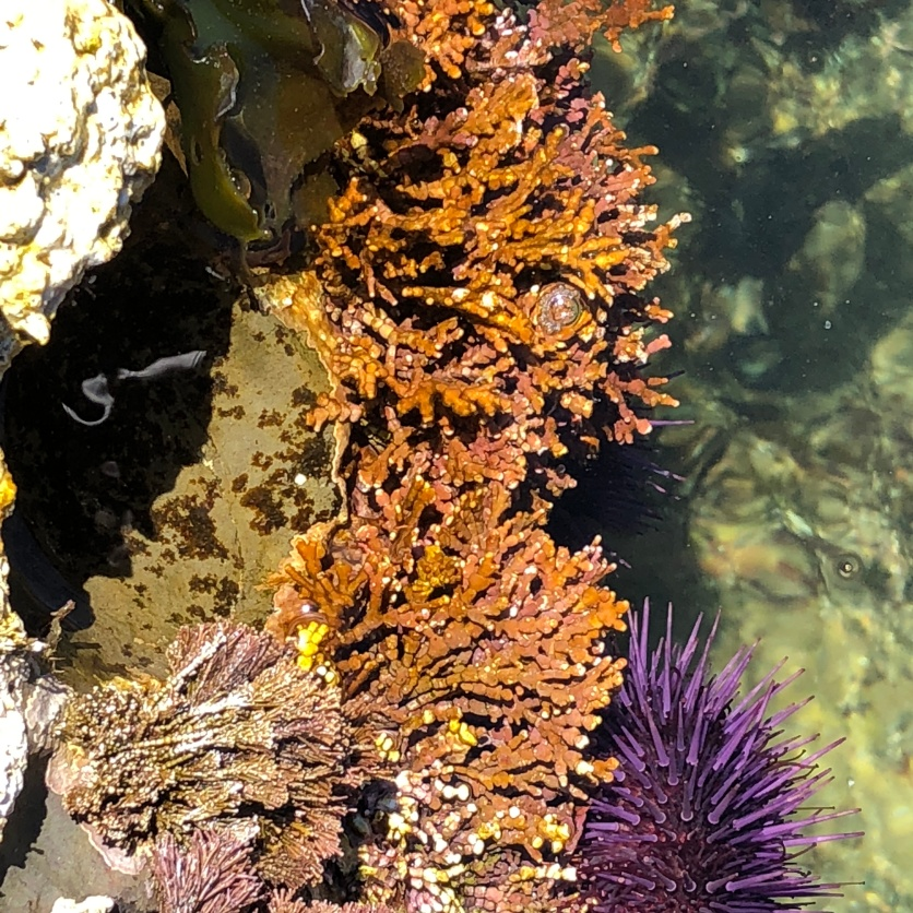 Underwater glory 1, w purple anenome, Pacific coast, CA