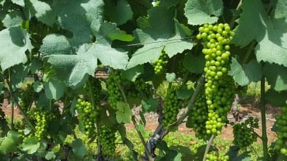 VIne and branches w grapes, Albemarle Estate, VA