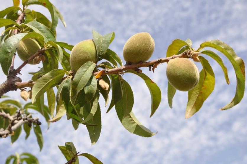 Fig branch