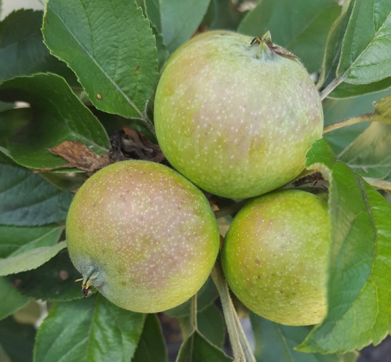 Fruit at Albemarle Estate, Virginia