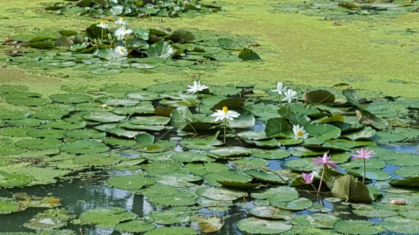 Lily pads, ruffly, SIngapore Botanical Garden