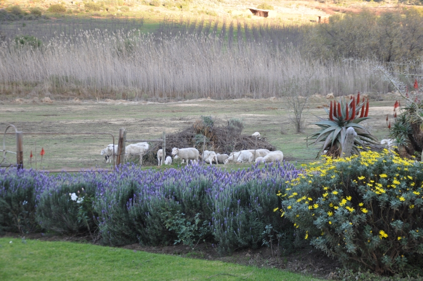 S Africa, lavender and sheep