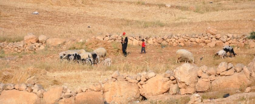 Shepherdess w sheep, children 2, Israel