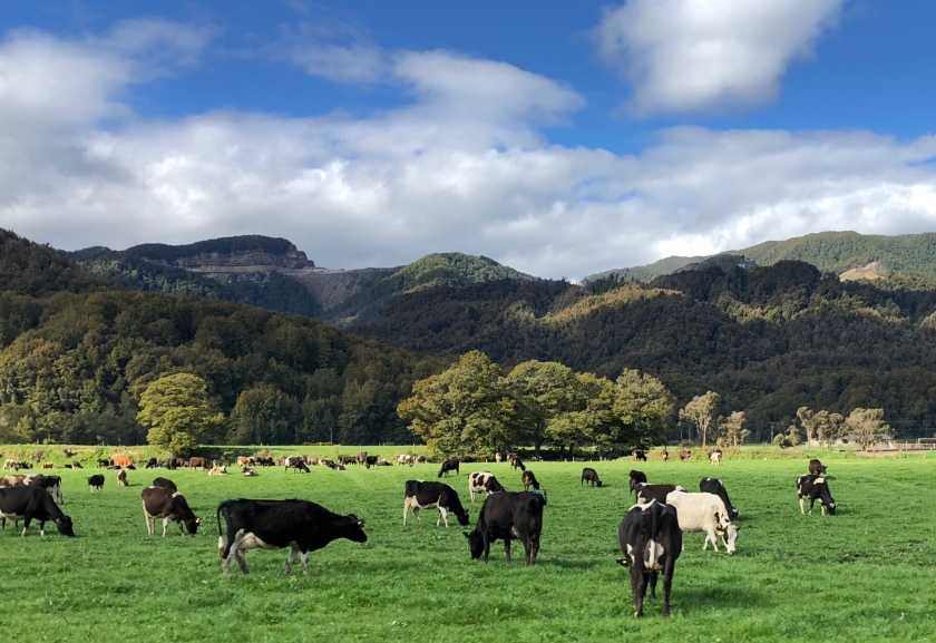 Cows in field w mountains, Blacks Point, New Zealand