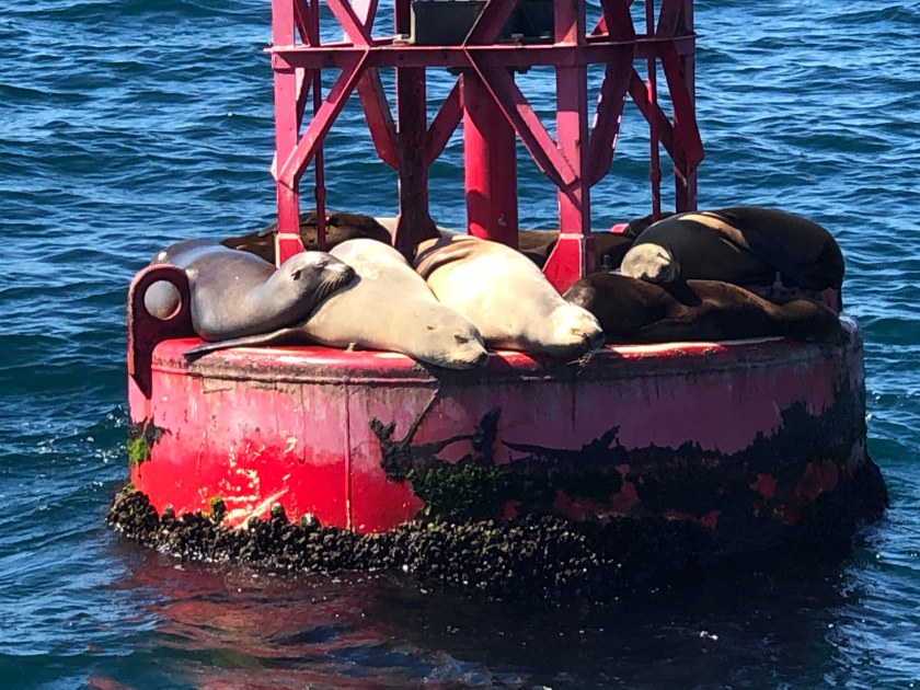 Harbor Seals at rest on Red Buoy 3, Dana Point, CA