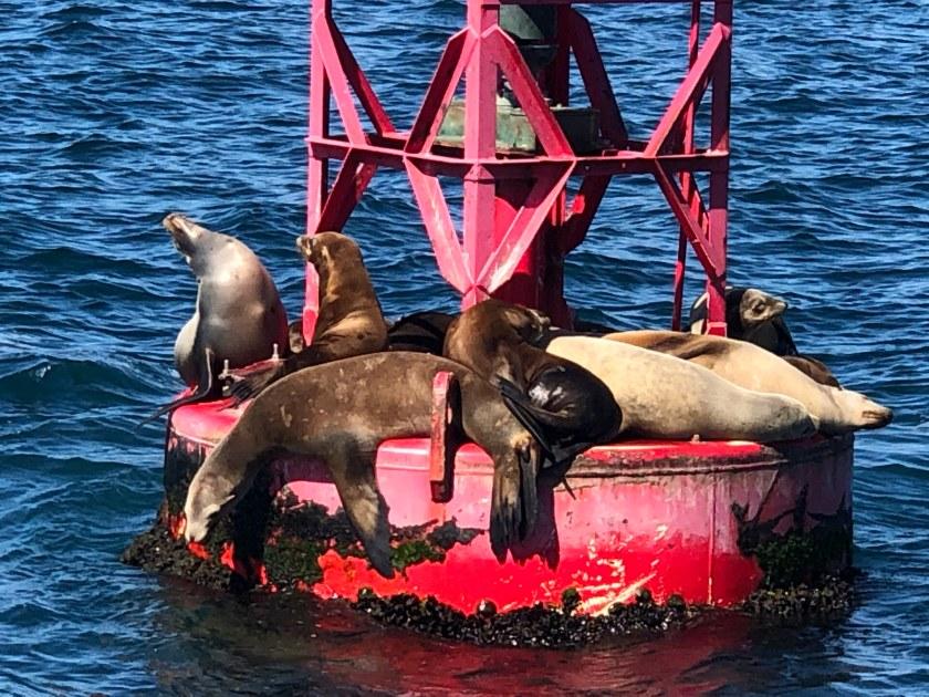 Harbor Seals on Red Buoy, Dana Point, CA