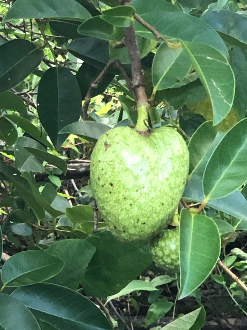Heart-shaped fruit, Naples